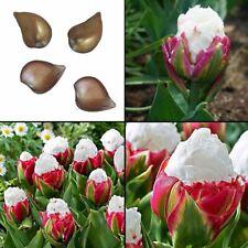 2PCS Yard Cabbage Rare Tulip Bulbs Aroma Tulip Plants Garden ( not seed ) D L0V3