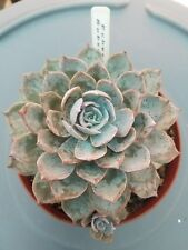 "ECHEVERIA SUBSESSILIS  !!! HUGE !!! Grown in 6"" Pot"