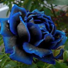 20Pcs Blooming Midnight Rose Seed Blue Black Roses Bush Flowers Rare Seeds