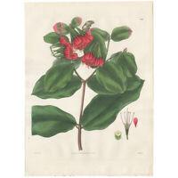 Curtis Botanical Magazine antique 1829 hand-colored engraving Pl 2944 Combretum