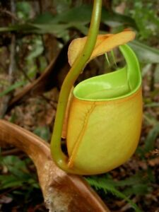 Nepenthes Bicalcarata ✨ RARE Tropical Pitcher Plant ✨ Fresh Seeds 🌱