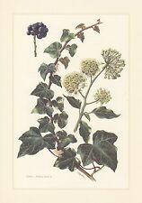 Gemeiner Efeu - Hedera helix Farbdruck von 1960  botanical prints