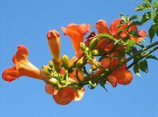 Pflanzen Samen winterharte Rankpflanze Garten Exoten TROMPETENBAUM-ORANGE