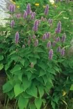 Hyssop Lavender Hyssop Seeds