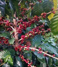 Coffea arabica nana - Coffee Plant Seeds - 50 Seeds