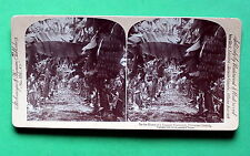 STEREO FOTO Hawaii, banane per 1900 Underwood, ORIGINALE