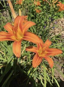ORANGE SHERBET Lily / Lillies (6Pack Healthy Tubers) Perennial Zone3-8 Guarantee