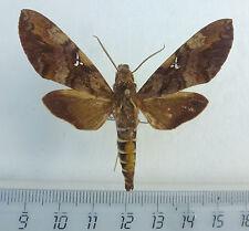 Sphingidae, Nephele accentifera  Männchen ex Zongo, Dom.Rep.Congo    n25