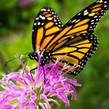 Organic Wild Bergamot Bee Balm Save the Monarch Butterfly, 50+seeds