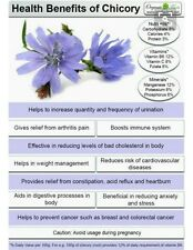 600 Chicory Seeds - Italian Dandelion-Open Pollinated-Non GMO-Organic.