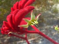 Kangaroo Paw Rare Flowers Seeds, 20 Seeds, Heirloom Garden Annual Home Flowers