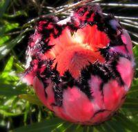 * Protea Neriifolia * Oleanderleaf Protea * Amazing Flowering Plant * 3 Seeds *
