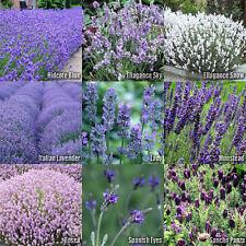 (10 Type) Lavender Flower/Herb SEEDS - Lavandula Mix - Hidcote, Ellagance Sky...