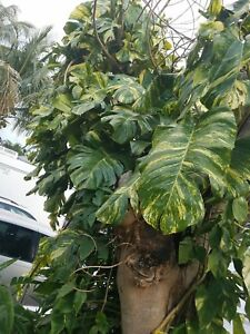 Variegated Golden Giant Pothos, Hawaiian Epipremnum pinnatum vine cutting large!