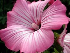 20+ LAVATERA SILVER CUP FLOWER SEEDS / PERENNIAL EARLY SPRING BLOOM