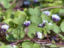 Zimbelkraut Cymbalaria muralis Mauerblümchen Färbepflanze hoher Vitamin C Gehalt