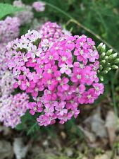 Hot Pink Yarrow Achillea millefolium summer flowers perennial herbal plant