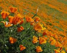 500 Samen Eschscholzia californica, Goldmohn, Kalifornischer Mohn, Kappenmohn
