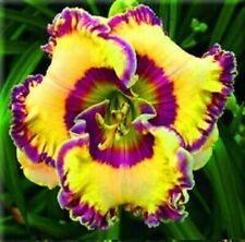 5 Daylily Roots Perennial Resistant Plant Rare Reblooming Bonsai Easy to Survive