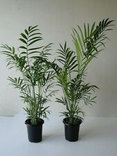 Two Large  Parlor Palms over a Foot Tall in four inch pots.