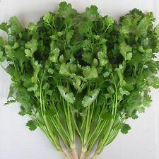Coriander Green Aroma - Coriander sativum - 10,000 Seeds