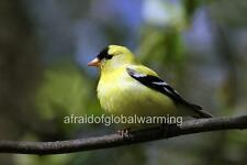 Photo. ca 2010. Canada. Bird - American Goldfinch