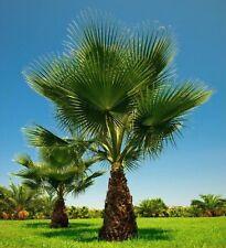 WASHINGTONIA FILIFERA - Hardy Tropical Washington Desert Fan Palm - 10 Seeds