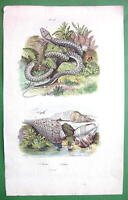 PYTHON Snake Cone Sea Shells - SUPERB H/C Color Natural History Print