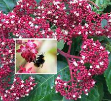 Schmetterlingsbaum Honigesche lockt Schmetterlinge an Futterpflanzen für Bienen
