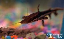 Tiger Shovelnose Cat - (Pseudoplatystoma fasciatum) TSN Catfish - Monster Fish