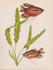 Vintage Tropical FISH Print Aquarium Fish Fishing Print Pearl Gourami 2279