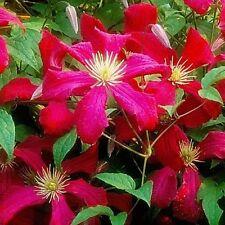 3 Clematis Vine Viticella 'Madame Correvon' Plug Plant Climbing Flowering Shrub