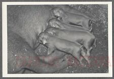 Vintage Photo Mother Pig Nursing Cute Piglets 767299