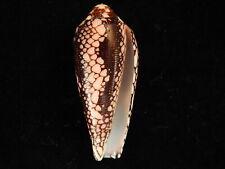 Sea Shells Conus episcopatus 47.3mm ID#5101