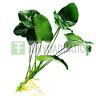 Anubias Barteri Broad Leaf XL Loose Freshwater Live Aquarium Plant Rhizome Nana