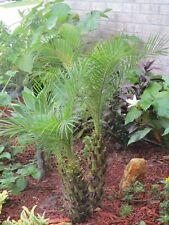 Pygmy Date Palm,Phoenix Roebelenii, (10) Seeds, Air Pollinated, Organic