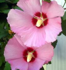50 DARK PINK ROSE OF SHARON HIBISCUS Syriacus Flower Tree Bush Seeds *Comb S/H