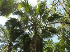 "New listing 10 Live Sabal causiarum ""Puerto Rican Palmetto"" Palm Tree Seedling."