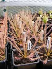Carnivorous Plant - Drosera x hybrida (filiformis x intermedia)