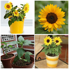 50pcs Mini Dwarf Yellow Sunflower Flower Seeds Home Garden Office Decor Plant JL