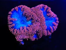 CE- WYSIWYG Frag Red Blastomussa Coral Explorers Live Coral Frag #EE3