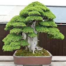 20Pcs Sacred Japanese Cedar Semillas Bonsai Plant Seeds_Green