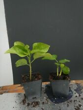 *Mountain Shadow* Rooted Tropical Hibiscus Plant*Ships Bare Root*