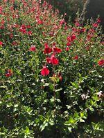 Organic Live USA Red Autumn Sage (Salvia Greggii) Cuttings