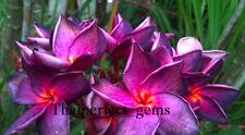 "Plumeria/Plants/Flowers/"" S1 ""/Fresh 100 seeds!"