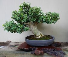 25 Korean Boxwood Seeds - Buxus Microphylla Koreana - Bonsai - Combine Shipping