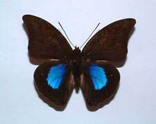 PREPONA CHROMUS - unmounted butterfly