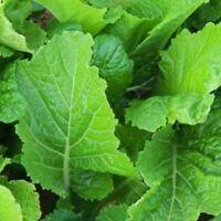 Florida Broadleaf Mustard Seeds, India, NON-GMO, Garden Growing, FREE SHIPPING