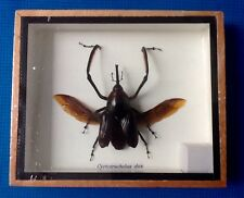 REAL LONG SNOUT ARM WEEVIL BEETLE CYRTOTRACHELUS DUX INSECT TAXIDERMY ENTOMOLOGY