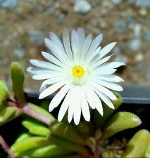 Winterharte Mittagsblume Delosperma Graaf Reinet Bodendecker Ampelpflanze